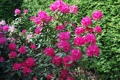 Rhododendron i full blomst