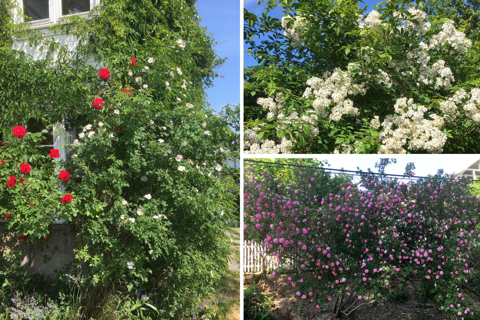 Hagen er spesielt frodig og flott