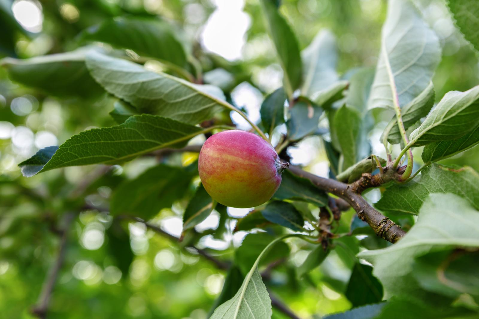 Det er rips, epletre, morelltre, kirstebærtre og en stikkelsbærbursk i hagen